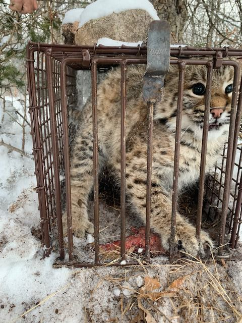 Bobcats caught in Ztraps live traps